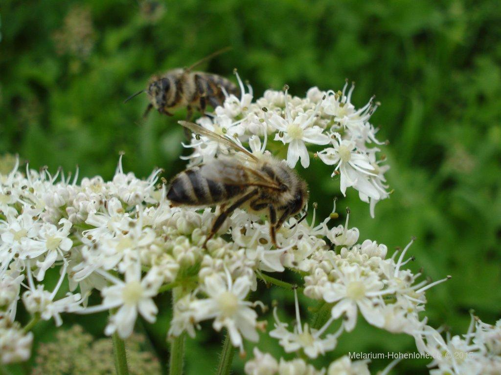 Blüte weiß, mit Biene 2