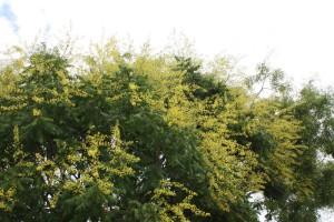 Blasenbaum in Blüte
