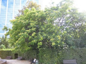 Götterbaum im Park